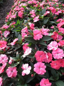 Impatiens SunPatiens® Vigorous Shell Pink Soft pink blooms with hints of coral will smother this tough annual. Resistant to downy mildew. All-America Selections Winner