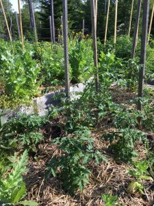 Seven essential summer tasks for a raised bed vegetable garden - Mulch to keep the weeds down -