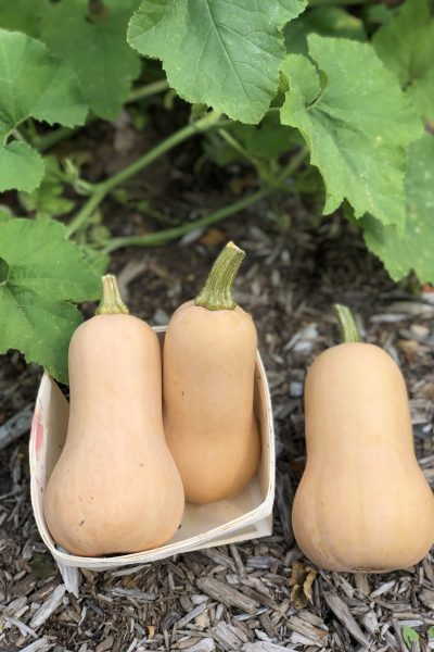 AAS Winner Butternut Squash - Perfect for your garden - All-America Selections