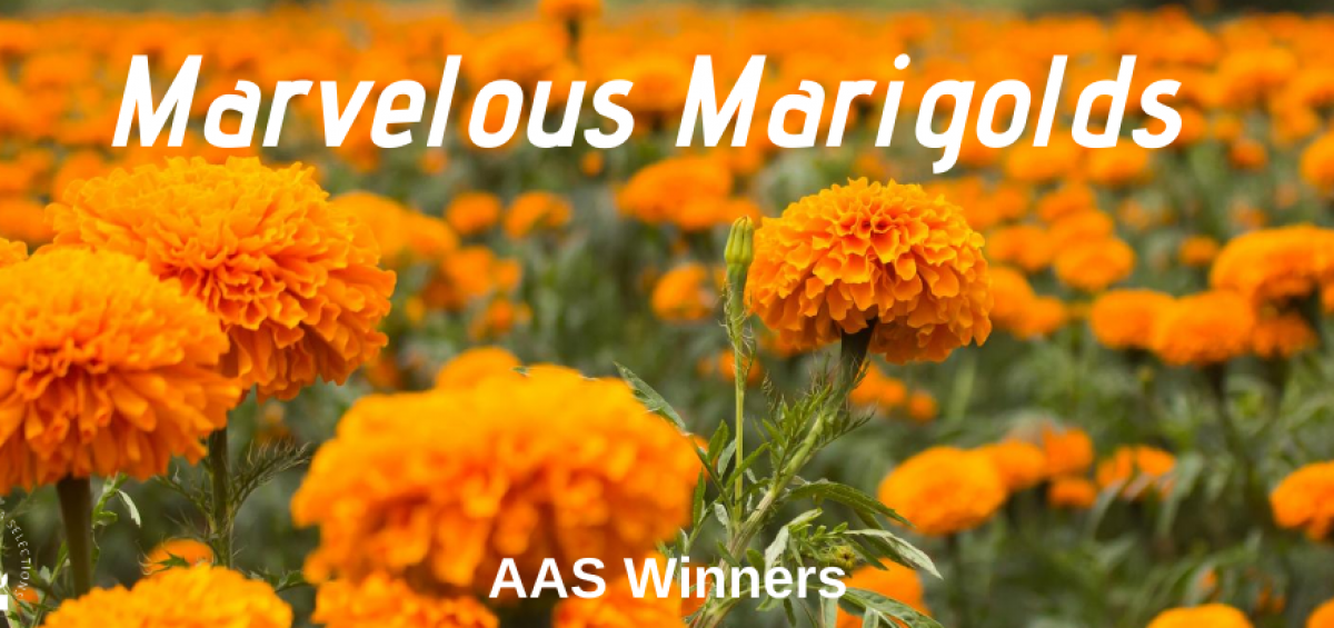 Marvelous Marigolds fill the garden - AAS Winners