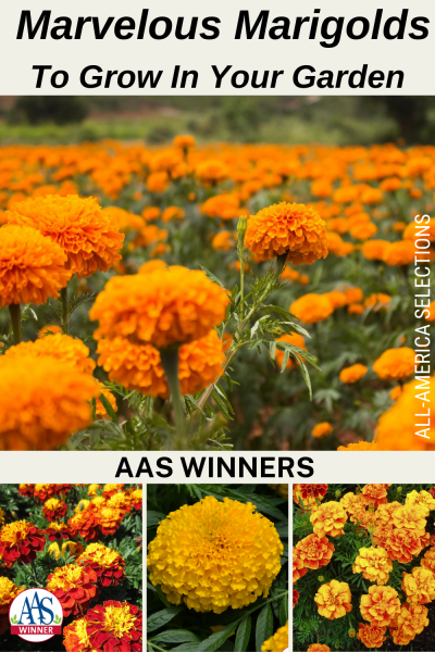 Marvelous Marigolds to grow in your Garden with AAS Winners - All-America Winners