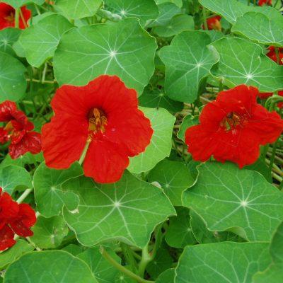 Nasturtium Scarlet Gleam - AAS Winner