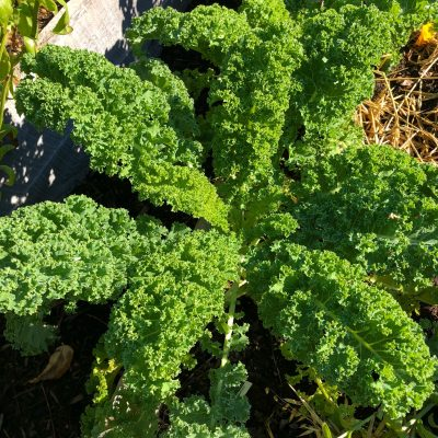 AAS Winner Kale Prizm is great for Fall Planting - All-America Selections