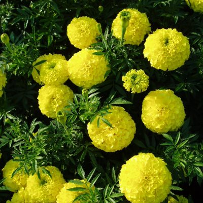 Marigold First Lady - AAS Winner