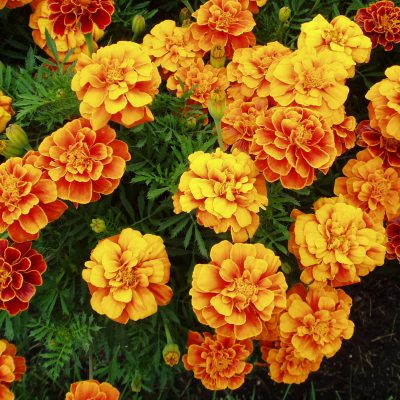 AAS Winner Marigold Queen Sophia