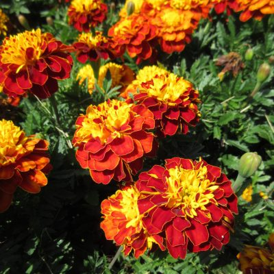 AAS Winner Marigold Super Hero Spry
