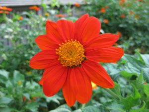 Tithonia Torch - AAS Winner