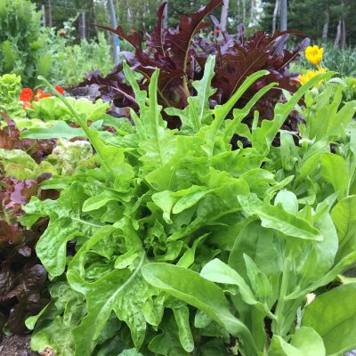 AAS Winner Sandy Lettuce - Great for Fall Planting