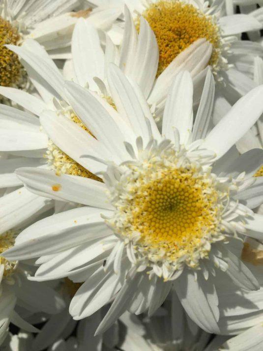 Leucanthemum Sweet Daisy BirdyAAS Herbaceous Perennial Winner
