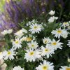 Lecanthemum Sweet Daisy Birdy in the Garden - AAS Perennial Winner