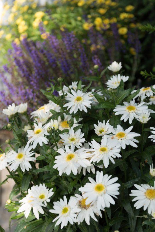 Lecanthemum Sweet Daisy Birdy in the Garden - AAS Perennial Winner