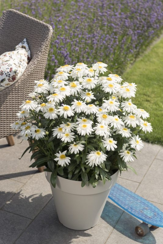 Leucanthemum Sweet Daisy Birdy works well in Containers- AAS Perennial Winner