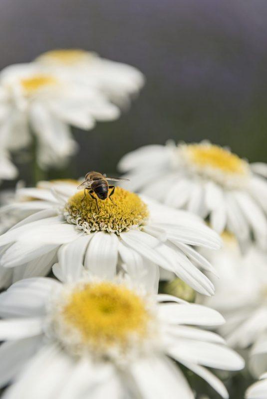 Leucanthemum Sweet Daisy Birdy with Pollinator - AAS Perennial Winner