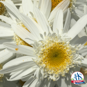 Leucanthemum Sweet Daisy Birdy - AAS Perennial Winner