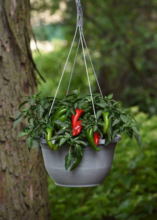 Pepper Pot-a-peno - AAS Winner
