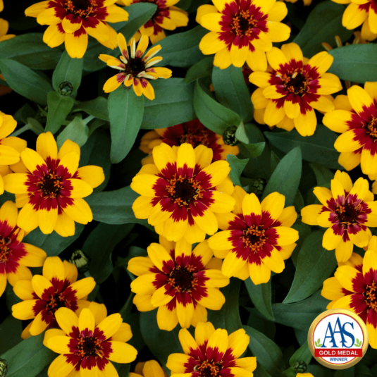 Garden Advice from our AAS Trial Judges love the Zinnia Profusion Red Yellow Bicolor - AAS Gold Medal Flower Winner