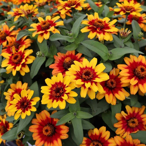 Zinnia Profusion Red Yellow Bicolor - AAS Gold Medal Flower Winner