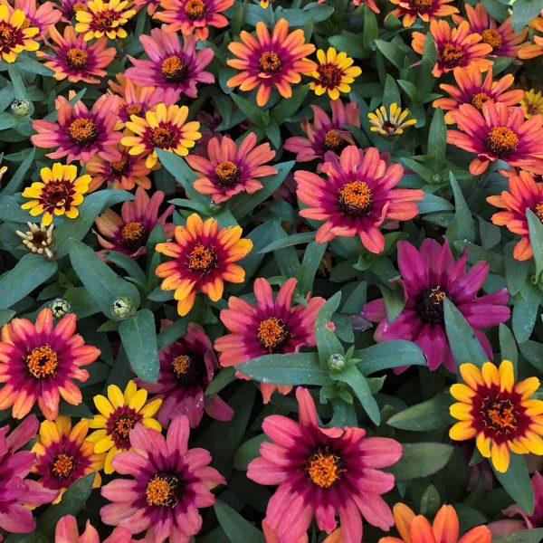 Profusion Red Yellow Bicolor showing colors SQ
