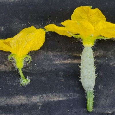 Male and Female Cucumber Flowers