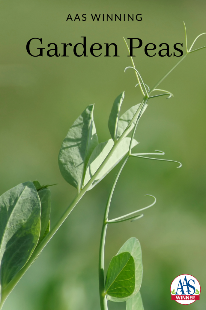 AAS Winning Garden Peas to grow in your garden for cool weather crops! - All-America Selections
