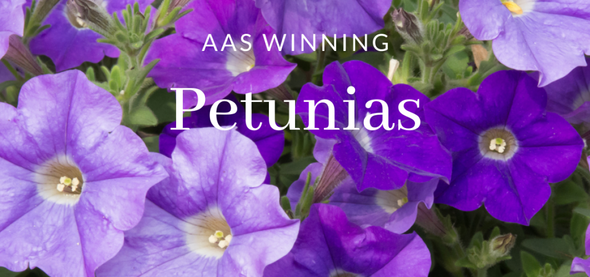 AAS Winning Petunias - All-America Selections