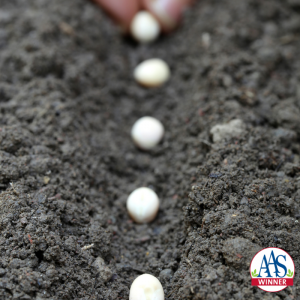The best way to grow garden peas is to so directly into the ground - All-America Selections