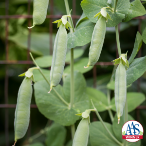 Snap peas: pick anytime. - All-America SelectionsThe pods of snap peas remain edible at any stage, whether immature, like snow peas, or mature, when the seeds fill out the pods and they actually reach their full flavor.