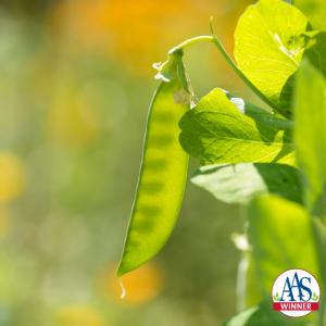 Snow peas: harvest before the peas begin to fill the pod. - All-America Selections