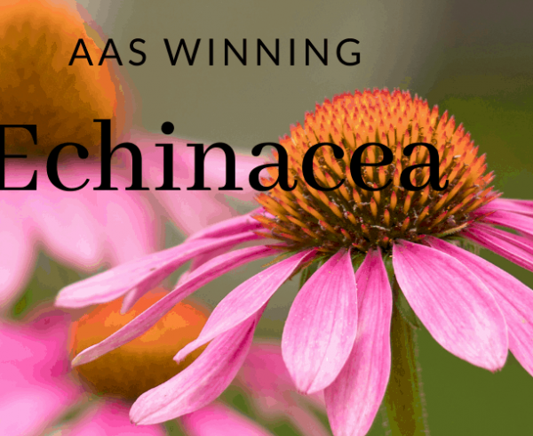AAS Winning Echinacea for your perennial garden - All-America Selections