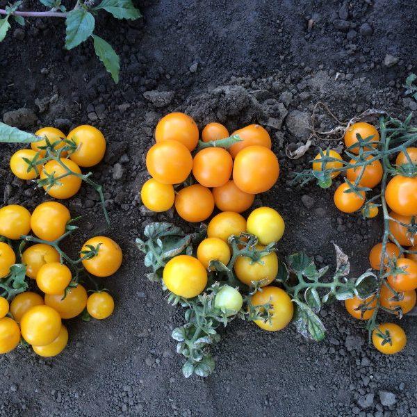 Entry Tomato