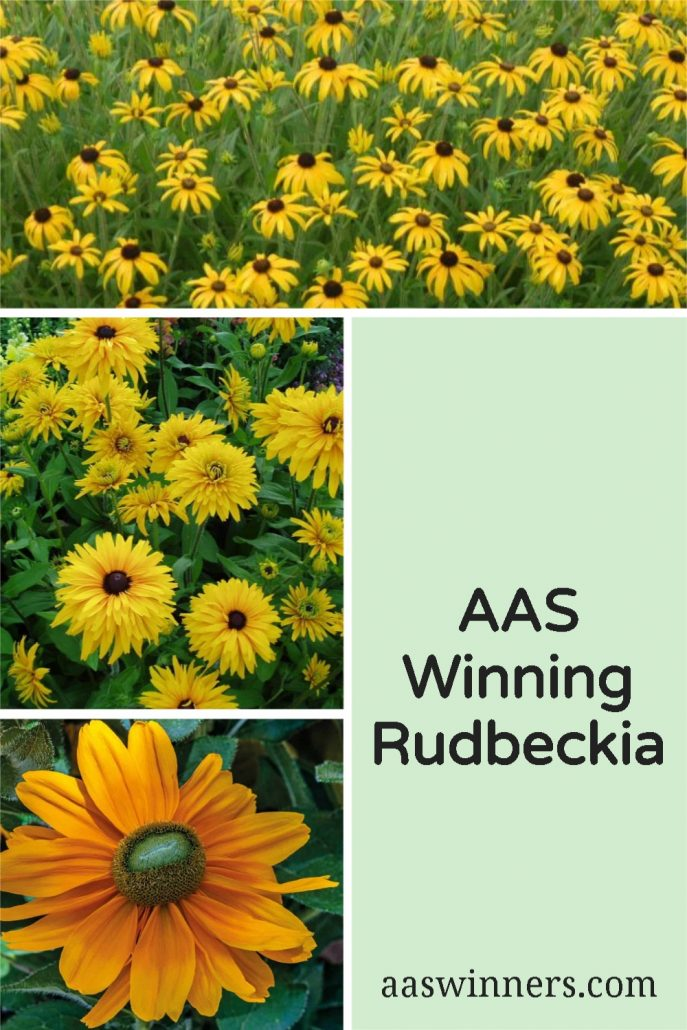 AAS Winning Rudbeckia - A classic All American treasure - All-America Selections