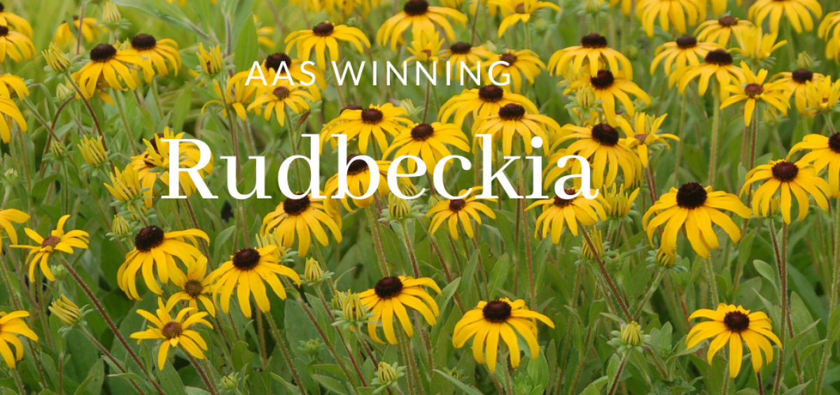 AAS Winning Rudbeckia - All-America Selections