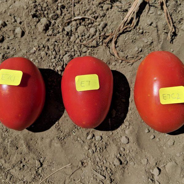 Tomato entry