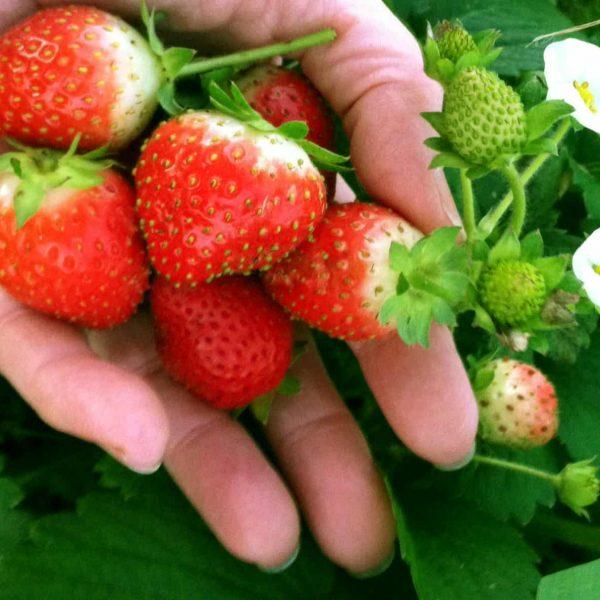 Strawberry Delizz in hand