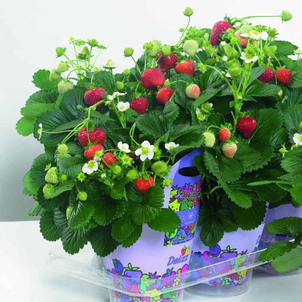 Strawberry Delizz