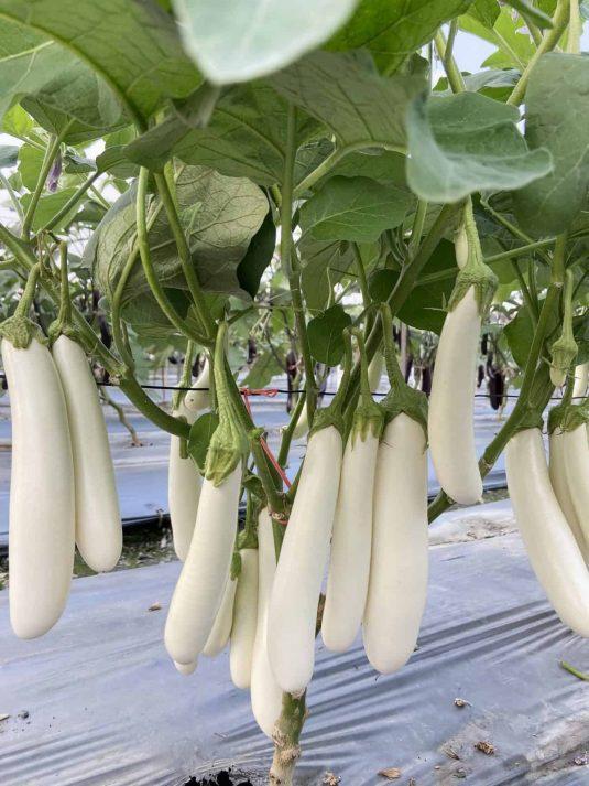 Eggplant Icicle - AAS Edible-Vegetable Winner