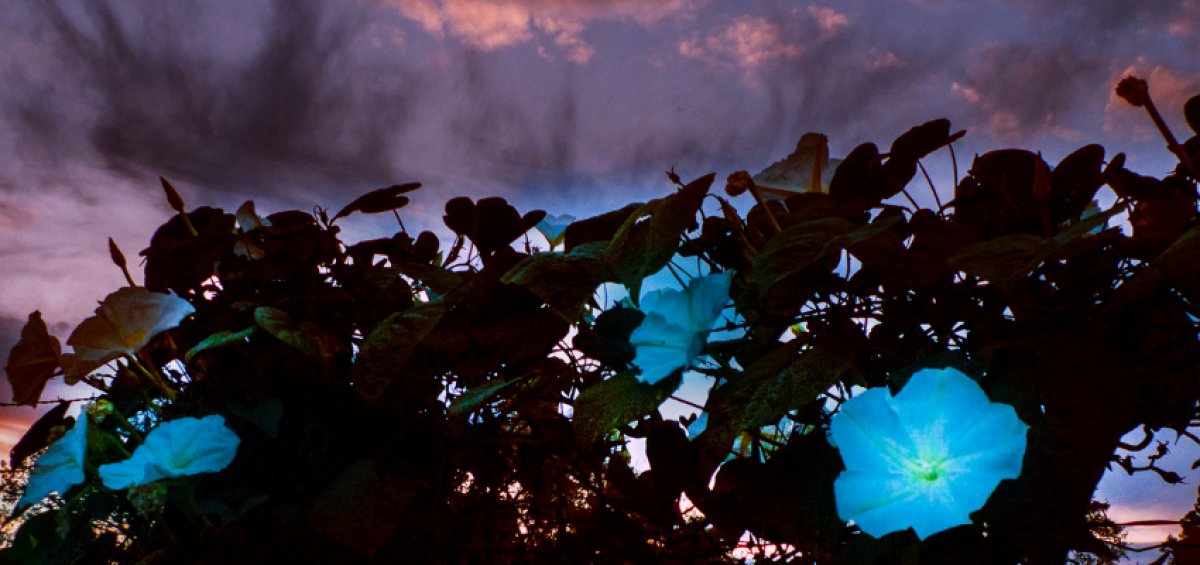 Create your own glowing moon garden with these AAS Winners - All-America Selections