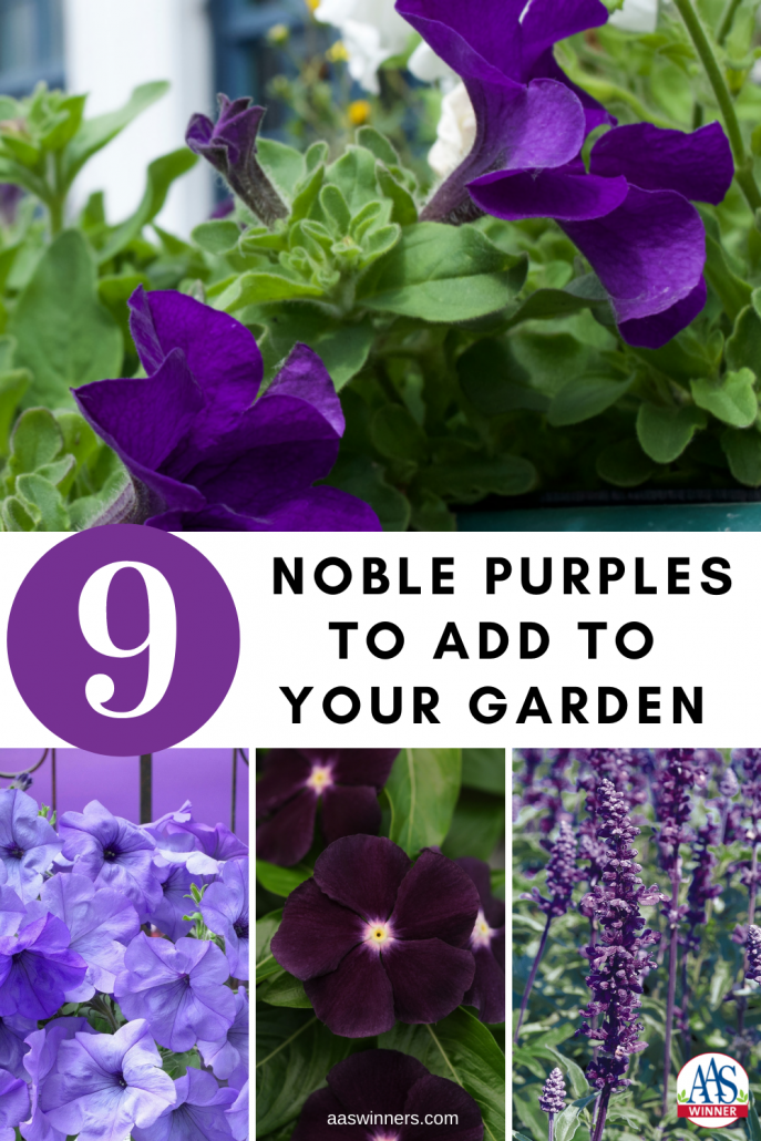 9 Noble Purples to add to your garden - All-America Selections