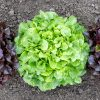 Lettuce Bauer - AAS Edible-Vegetable Winner