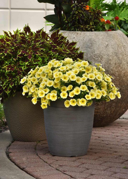 Petunia Bees Knees in a container - AAS Ornamental Winner