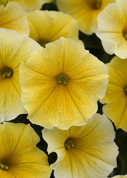 Petunia Bees Knees - AAS Ornamental Winner