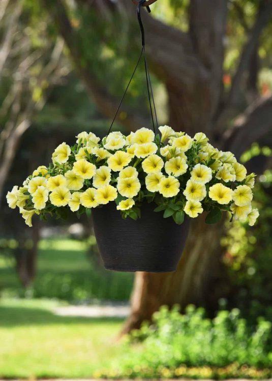 Petunia Bees Knees in a hanging basket- AAS Ornamental Winner