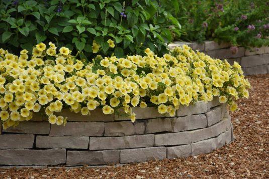 Petunia Bees Knees in the landscape- AAS Ornamental Winner