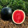 Watermelon Century Star - AAS Edible-Vegetable Winner