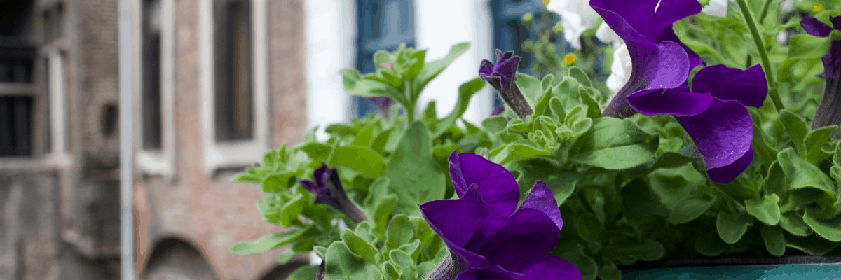 Nine Noble Purple AAS Winners for your garden - All-America Selections