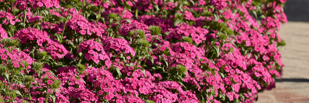 9 Pretty Pinks to add to your garden - Pink flowers bring a massive color range from pale pink to deep magenta - All-America Selections