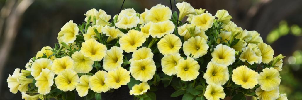 Yellow AAS Winner add cheer to your garden
