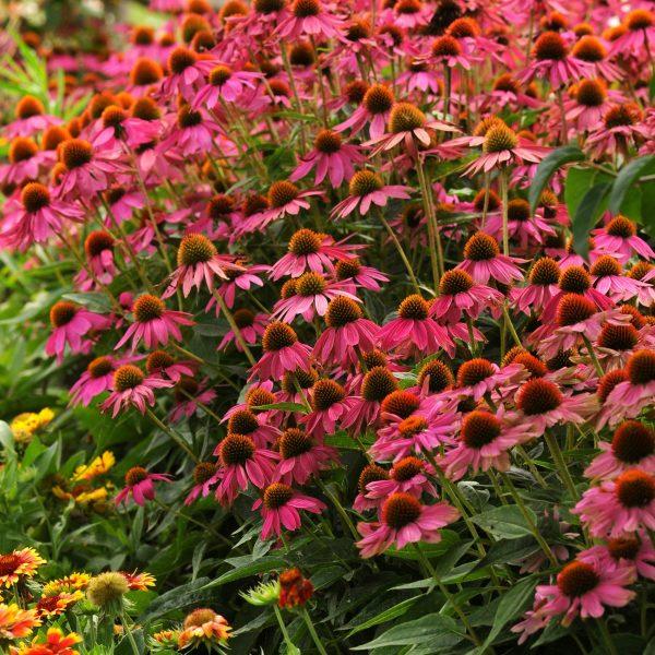 Echinacea PowWow Wild Berrry flowers through Fall - AAS Winner